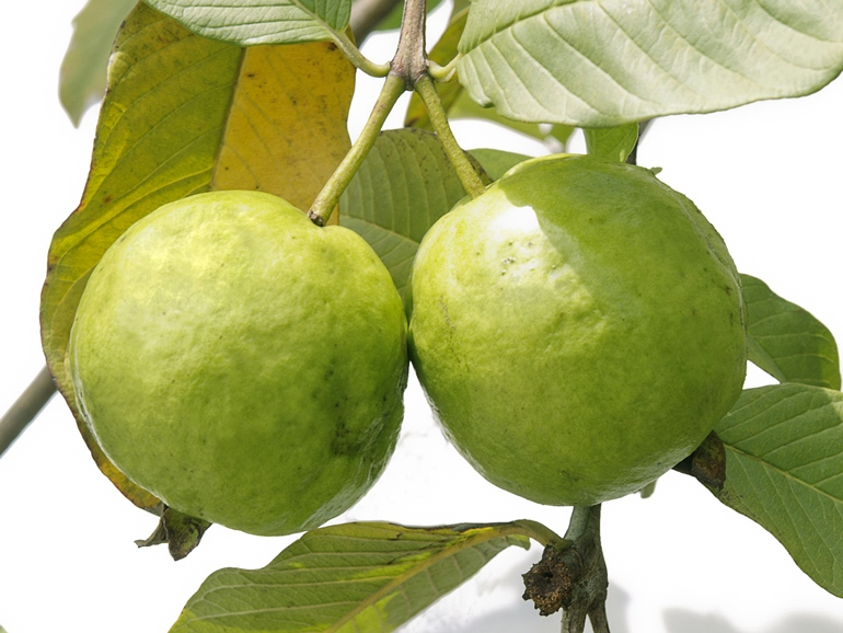 Guava, The Season Of Super Food Is Back For Good