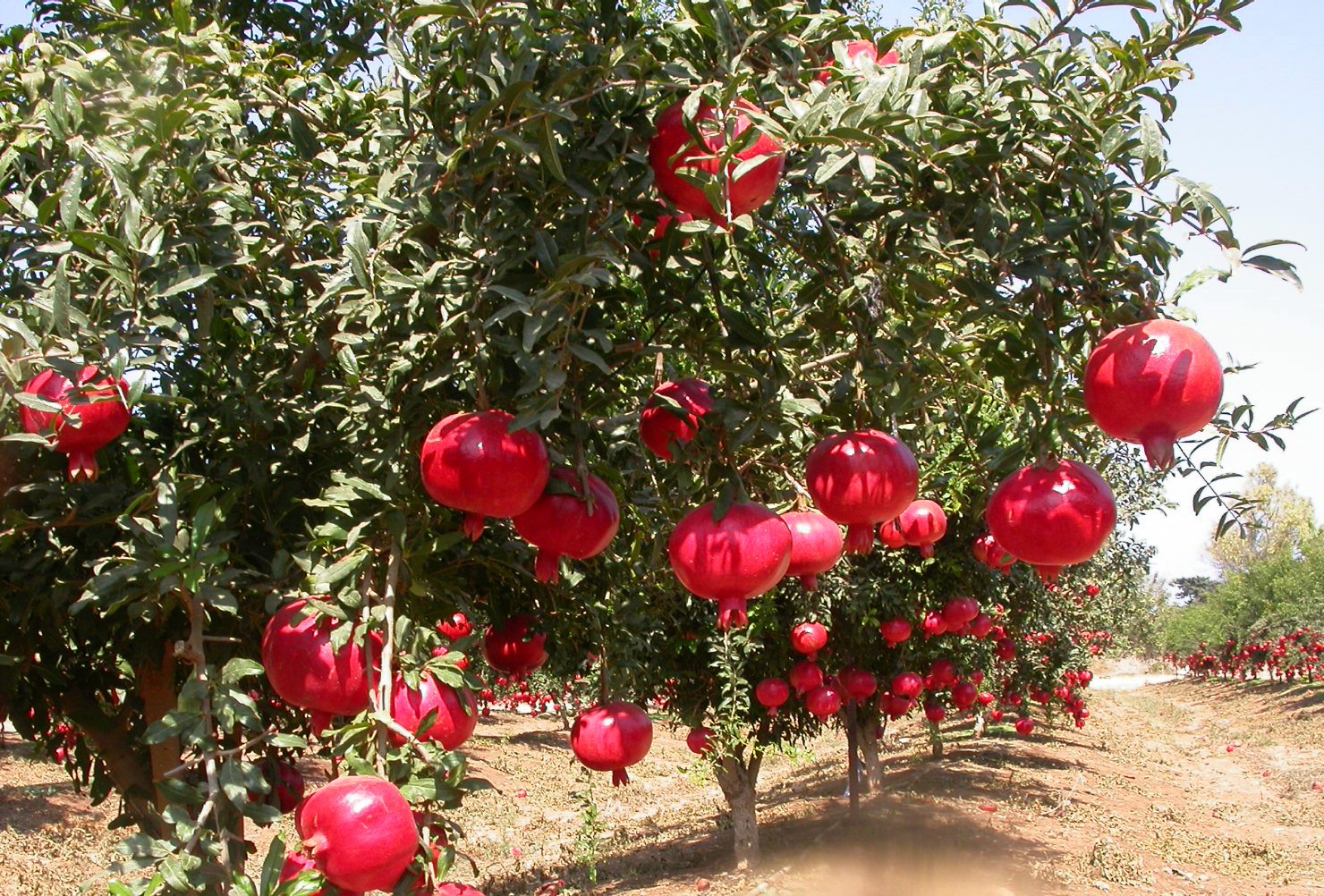 Indian Pomegranate Farms: Demystified